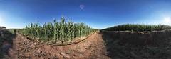 Maize Field, Grootfontein, Namibia (tourism.my.na) Tags: africa travel tourism reisen fields afrika agriculture namibia maize tourismus reise grootfontein landbau