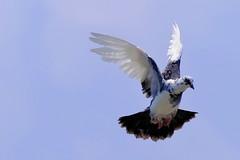 850C4461- Pigeons (Zoemies...) Tags: pigeons bamboo pondok balikpapan zoemies
