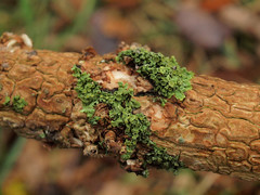 trunk with moss (Geziena) Tags: autumn holland moss olympus trunk