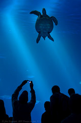 nowhere to go (Images by John 'K') Tags: aquarium monterey tank turtle montereybayaquarium explore seaturtle 111111 explored d7000 randomok 11|11|11 johnkrzesinskijohnk