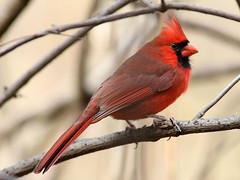 Northern Cardinal, male (AllHarts) Tags: nature cardinal spac hollyspringsms pogchallengewinnershalloffame pickyourart stunninganimalsandbirds naturespotofgoldlevel1 natureswhatandwhere