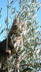 caterina rignana 1 P1130855 (mansionmedia simon knight) Tags: italy tree cat italia tuscany olives chianti toscana greve olivetree rignana simonknight mansionmedia villarignana