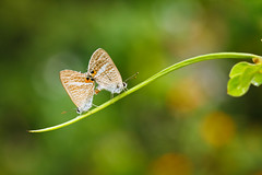 Love in Autumn (Ali Tse) Tags: lampidesboeticus longtailedblue