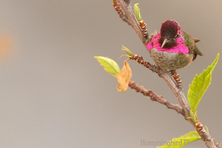 Anna's Hummingbird111311-4