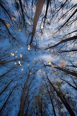 Lluvia de hojas (61 y 62 EXPLORE - 14 y 15-11-2011) (Jose Casielles) Tags: color luz hojas arboles bosque cielo otoo yecla chopos footgrafiasjcasielles