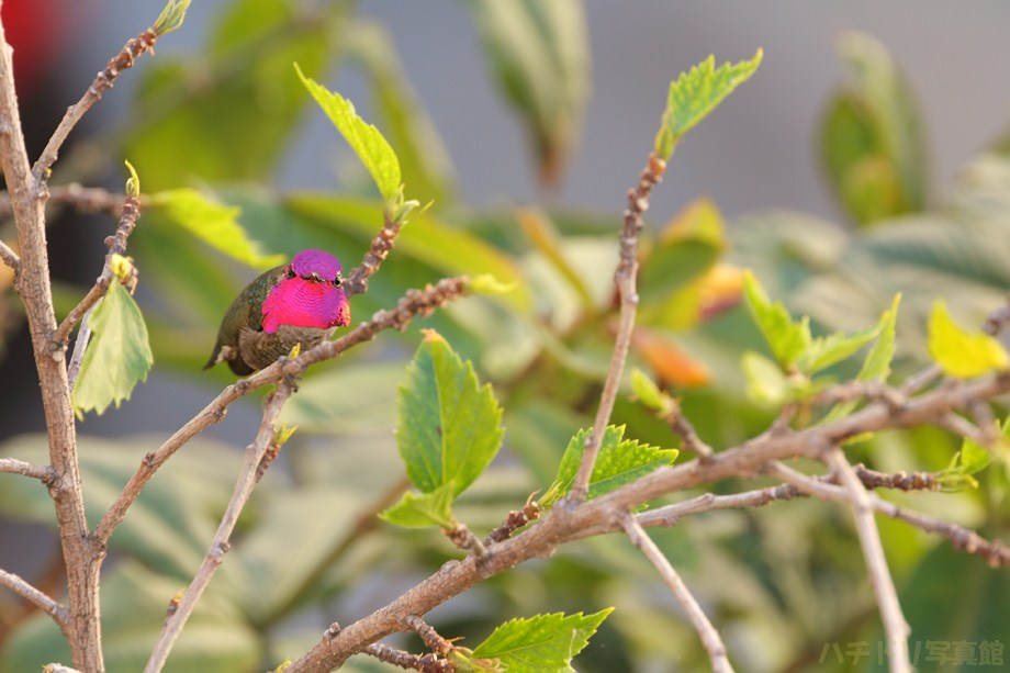 Anna's Hummingbird111411-5