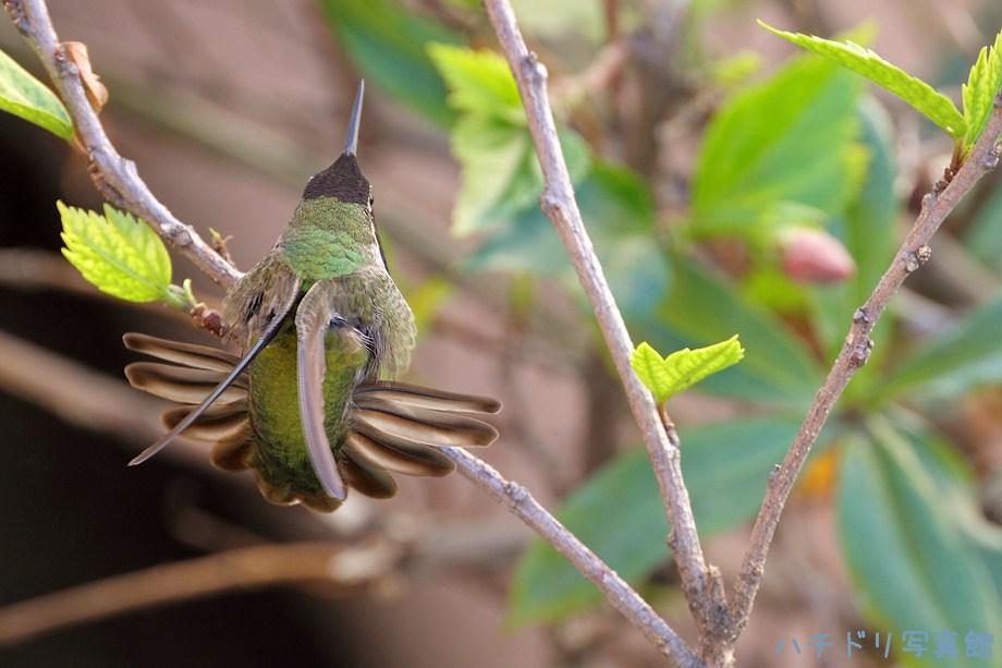 Anna's Hummingbird111411