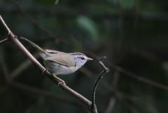 Pula-pula-de-barriga-branca (Daniel Samonte) Tags: aves da serra pássaros canastra danielsilvasantos estanciadefurnas danielsamonte