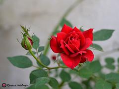 quinta-flower (* Rezinha *) Tags: flower flor rosa quintaflower quintaflor minirosa setembrochove