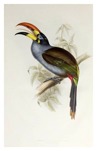 005- Araçari de pecho gris-A monograph of the Ramphastidae or family of Toucans-1834- John Gould