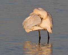 Spoonbill Wing Flick (Andrew Haynes Wildlife Images) Tags: bird nature wildlife warwickshire spoonbill draycotewater ajh2008
