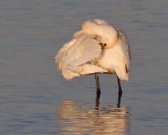 Spoonbill Wing Flick (Andrew Haynes Wildlife Images) Tags: bird nature wildlife warwickshire spoonbill draycotewater ajh2008