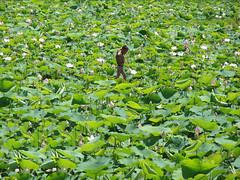 The Lotus Farmer (Marco Di Fabio) Tags: flowers flores flower field asia cambodia khmer child lotus flor east campo oriente farmer fiori orient siemreap provincia laborer fiore nino province loto est peasant indochina trabajador bambino camboya nelumbonaceae peon agricultor farmhand contadino nelumbo nelumbonucifera cambogia nucifera indocina coltivatore bracciante ringexcellence