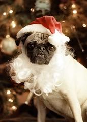 Santa Pig (WeeLittlePiggy) Tags: santa christmas xmas dog puppy pug card