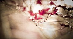 Bokeh Redness (Auensen::) Tags: summer plants abstract nature colors leaves composition intense nikon focus bokeh gorgeous awesome details creative shapes july blurred epic impulsive 2011 nikon50mmf14g nikond7000