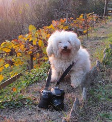 Best Photographer |  My dog | (! .  Angela Lobefaro . !) Tags: camera autumn sunset portrait dog chien pet sun castle fall love nature beautiful grass leaves animal cane stone lady danger canon puppy eos vineyard tramonto photographer dof wine action stones quality patterns hond winery perro cao hund cachorro poodle grapes bichon frise chateau biella autunno castello borgo filhote mascota castillo perrito chateaux allrightsreserved vino burg italians bolognese hachiko caes whitedogs jupiter9 cagnolino valdengo vigna bichonfris dogsallowed 50d biellese hokhiko castellodivaldengo holidaysvacanzeurlab visitpiedmont angelamlobefaro whitepoodledogs sx30is