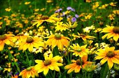 colour combination (Tony Shertila) Tags: france flower colour yellow europe petal normandy hdr domfront closeframe mygearandme