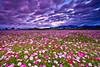 新社花海 - Cosmos sea of flowers in Shinshou - Taichung City (prince470701) Tags: clouds taiwan cosmos 波斯菊 花海 新社 seaofflowers 台中市 taichungcity shinshou sonya850sony1635za