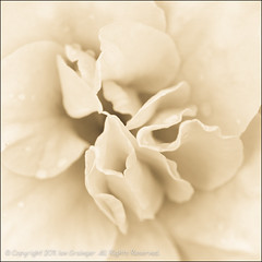 331/365 - Antique Looking Azalea (*ian*) Tags: blackandwhite bw flower macro nature monochrome oneaday closeup square bush flora petal azalea favourite day331 project365 bigemrg photo365 gettysubmitted 3652011 3652011nov