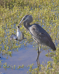 GBH Taking Down a Grebe. (bmse) Tags: blue heron canon kill chica great eat 7d western bolsa 56 grebe 400mm bmse