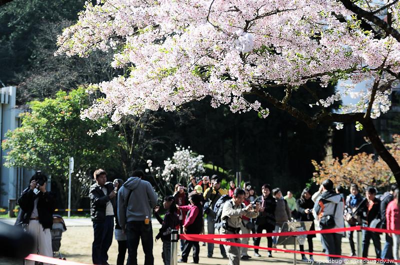 阿里山櫻花季74