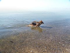 2012 - 27.3.12 Prestwick (50) (marie137) Tags: houses sea people dog sun game beach water coffee animals shop landscape fun scotland sand ben shepherd pebbles german splash gsd marie137