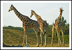 Giraffes (Fazer44) Tags: trees animal canon zoo three patterns giraffes 100400mm tails necks colchesterzoo eos7d