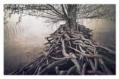 L'arbre de vie (bigID) Tags: lake tree texture sepia landscape switzerland spring nikon lac impressions d7k thesecretlifeoftrees d7000