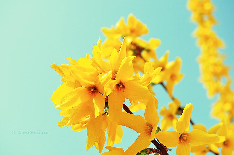 The worlds best photos by sveva germinario flickr hive mind cellophane flowers of yellow and green sveva germinario tags flowers blue primavera mightylinksfo