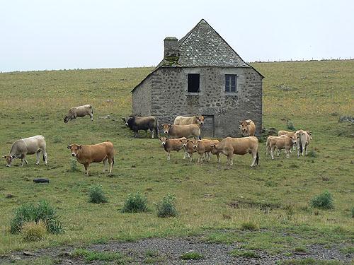 les vaches nous regardent.jpg