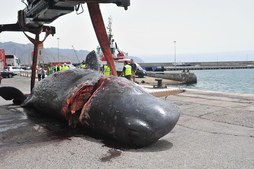 Sperm Whale struck by vessel
