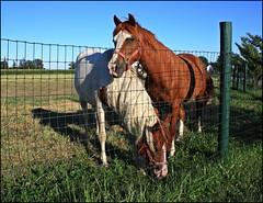 My Pretty Ponies (Sue90ca) Tags: horse field grass animal barn canon cowboy ride legs tail pony stable mane paintedpony paintedhorses rebelxsi