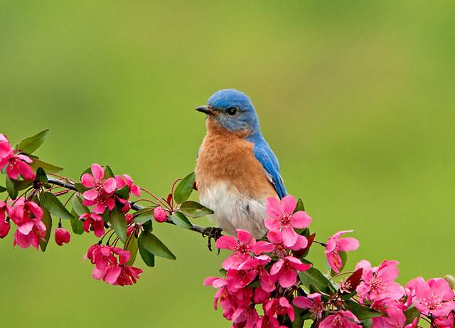 Male Bluebird in Blooming Crabapple Tree