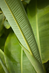 Banana leaf (Franois Doroth) Tags: green nature leaf vert banana feuille bananatree bananier franoisdoroth francoisdorothe