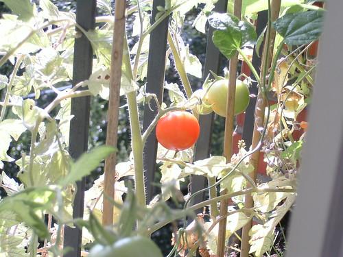 Meine erste Tomate :-)