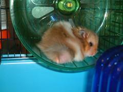 Rock a bye Dandy... (jellybaby86) Tags: cute fluffy hamster satin rex coward syrian longhaired dandydust