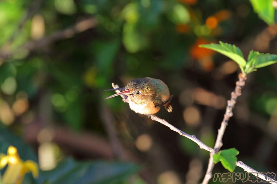 Allen's Hummingbird 082011-2