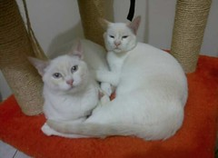 Oscar & Nestor - ADOTADOS :-) (resGatinhos) Tags: adoteumgato gatobranco adoteumgatinho adotargato adotargatocampinas adotargatobranco