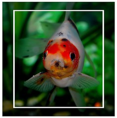 Goldfish (vita nova photography) Tags: water goldfish freshwater