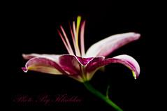 Pink Lily (Khaldaa KWS) Tags: pink flower macro rose by photo nikon lily kuwait farhan kws  d300         khaldaa  300