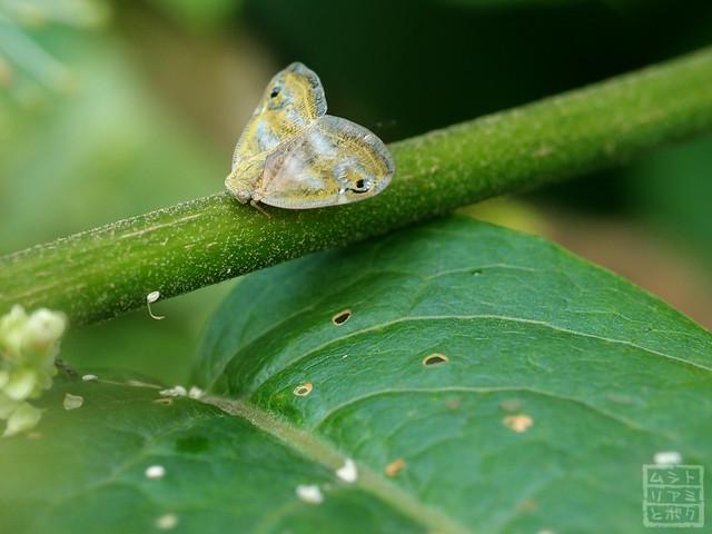Orosanga japonicus