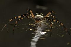 Spooky Spider (flutterbye216) Tags: orbweaver argiopebruennichi blinkagain spiderflcanonweb challengeclubchampion
