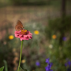 butterfly on broadway. (tumbleweed.in.eden) Tags: flower butterfly garden bokeh co lyons broadwaystreet hbw