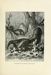 Anglų lietuvių žodynas. Žodis new world anteater reiškia naujas pasaulio skruzdėdos lietuviškai.