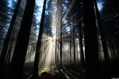 Fleur de Soleil dans la foret  ** flower  of  sun  in the forest ** (francky25) Tags: fleur de la soleil foret dans doubs comté franche alaise flickraward5