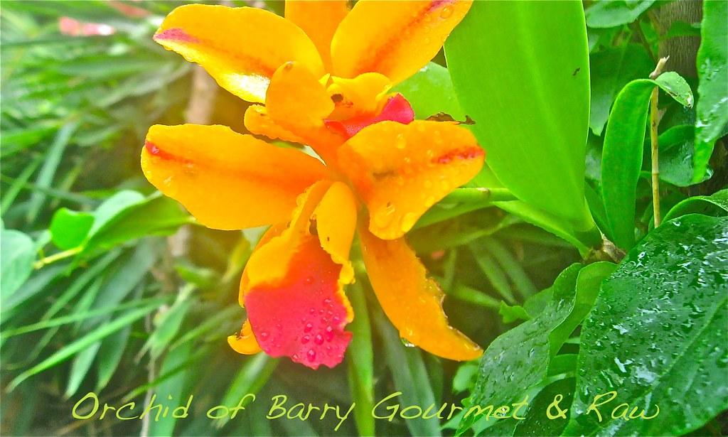 Barrys Gourmet Garden Orchid