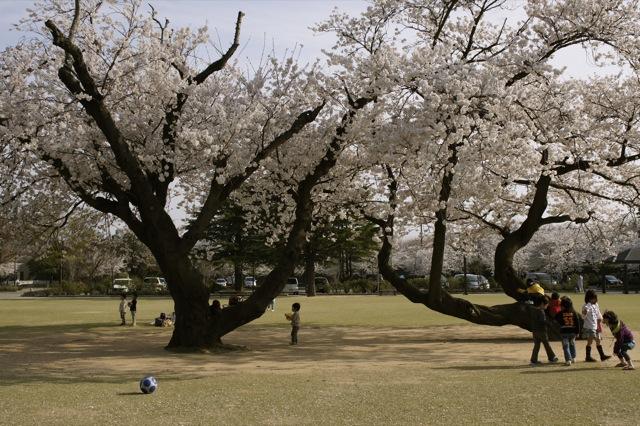 春はひと足ずつ 金沢市街の桜