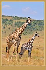 Me and Ma! (Rainbirder) Tags: masaimara giraffacamelopardalistippelskirchi giraffacamelopardalis masaigiraffe