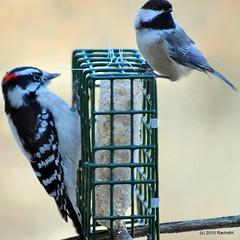 DSC_0203 (RachidH) Tags: nature birds downywoodpecker picoidespubescens nj chickadee sparta blackcappedchickadee oiseaux mésange poecileatricapillus mésangeàtêtenoire picmineur rachidh