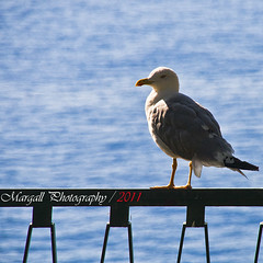 The Seagull (Margall photography) Tags: sea summer sun fence mare seagull montecarlo monaco marco gabbiano galletto margall